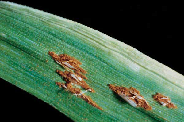 Stem rust on a wheat leaf